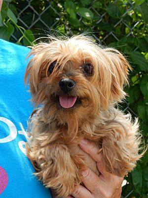 New York, NY Yorkie, Yorkshire Terrier. Meet Connie a