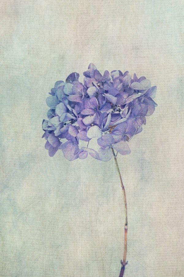 Beautiful Blue Hydrangea Wallpaper