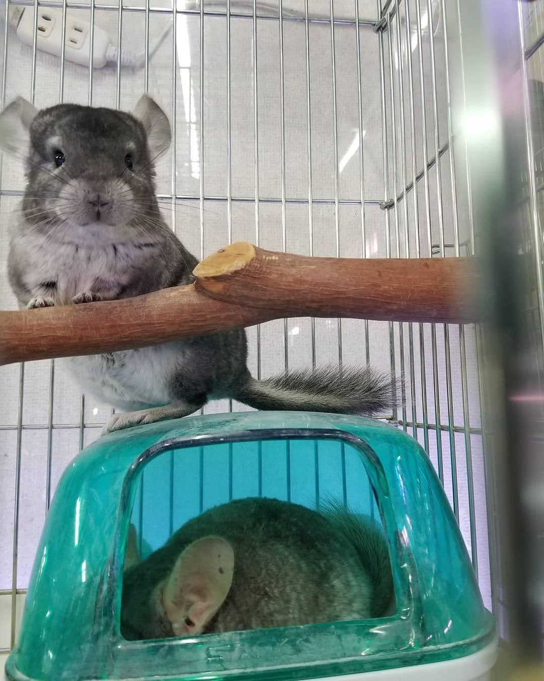 Instagram復活しました チンチラ Chinchilla Animals Hamster