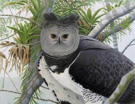 ثقافة وعلوم نسر الهاربي أكبر وأغرب نسر في العالم Pet Birds Beautiful Birds Harpy Eagle