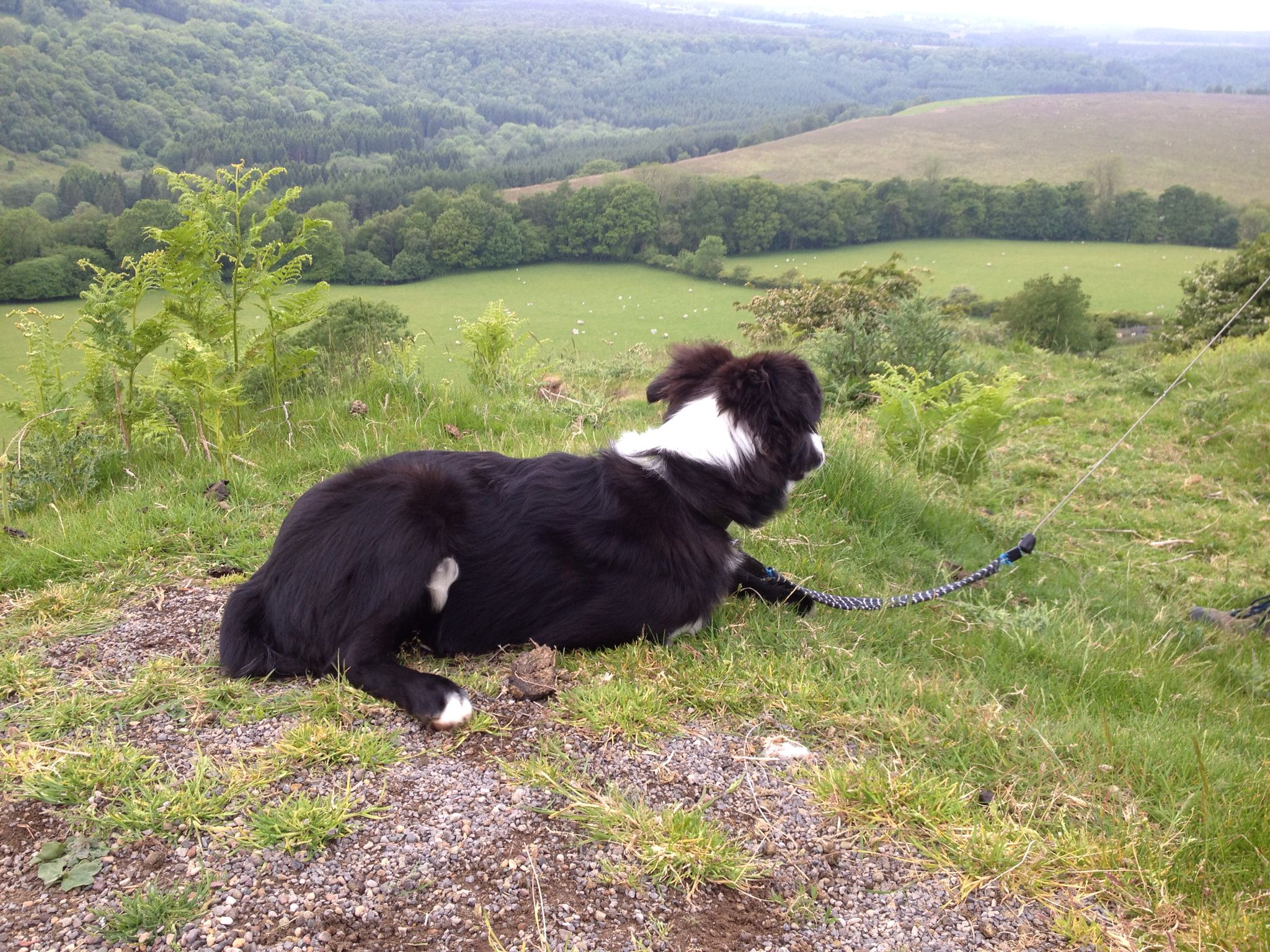 Border Collie North Yorkshire Levisham Border Collie Dogs And