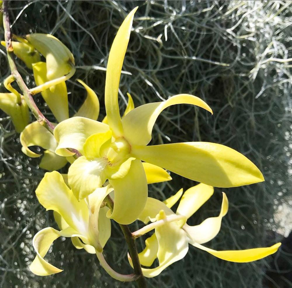 Tea Tree Orchid Flowers Through The Dry Bush Heritage Australia