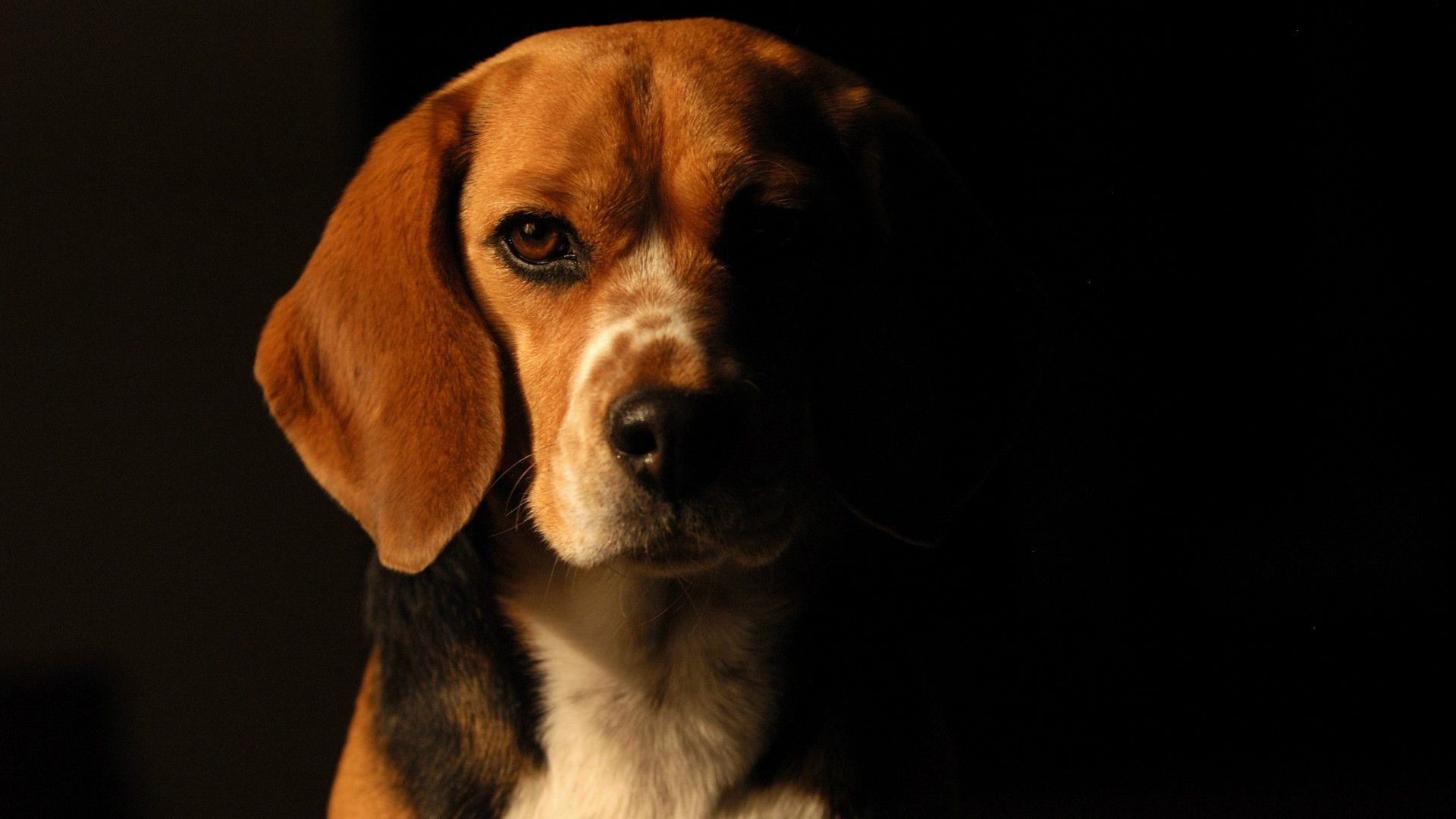 Dog Wallpapers And Photos 4k Full Hd Dog Wallpaper Beagle Dog Dogs