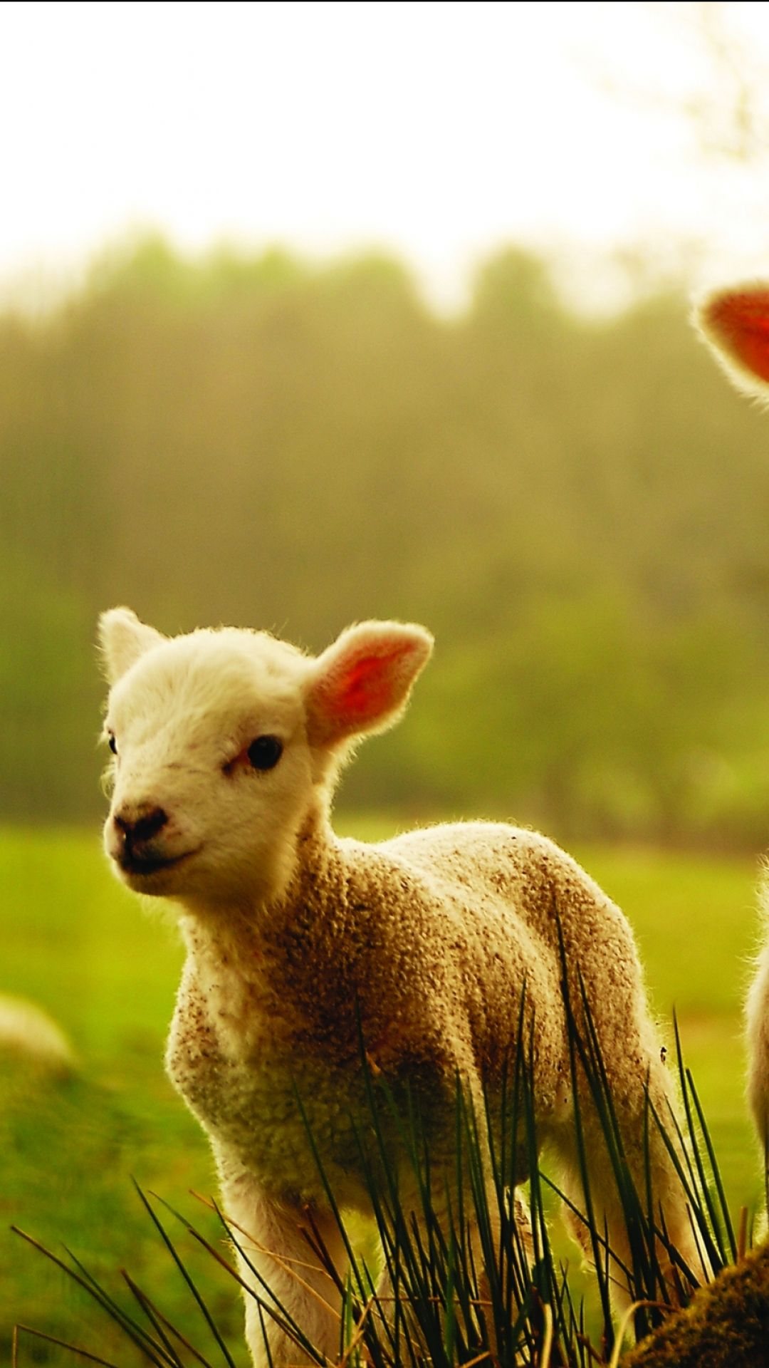 Animal Sheep 1080x1920 Mobile Wallpaper Baby Lamb Animals Baby Sheep