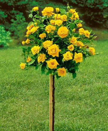 Standard Rose Arthur Bell Bred Named For Prominent Scotsman Who Awarded Developer Of This Yellow Rose With M Standard Roses Buy Plants Online Garden Care