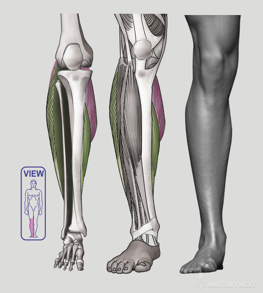 Anatomy Next - Anatomy of Lower limb: Anatomy & features | Anatomía ...