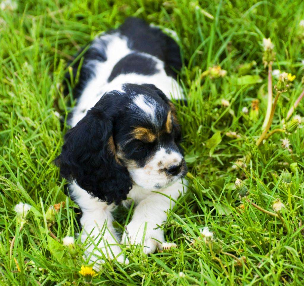 Black Tan White Cocker Spaniel Puppy Cocker Spaniel Puppies