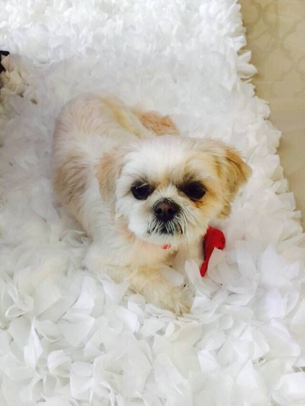 Lost Dog Shih Tzu In Bronx Ny Pet Name Molly Id 94755 Gender