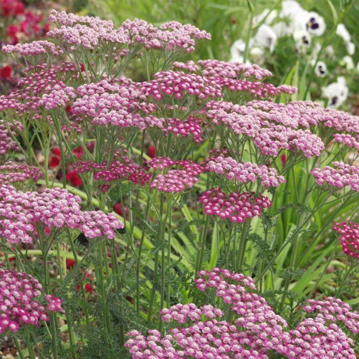 Schafgarbe R Is For Rosa Schafgarbe Gartengestaltung Ideen Und