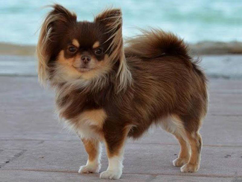 Longhair chihuahua Doggies Pinterest Doggies