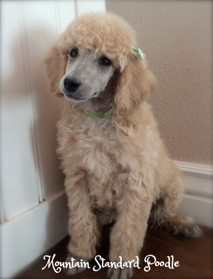 Mountain Standard Poodle High Quality Standard Poodle Puppies