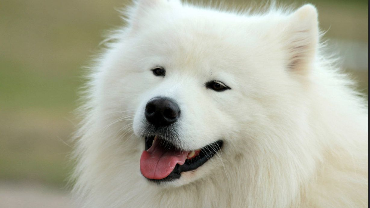 14 Small White Dog Breeds To Add To Your Family Asap White Dog