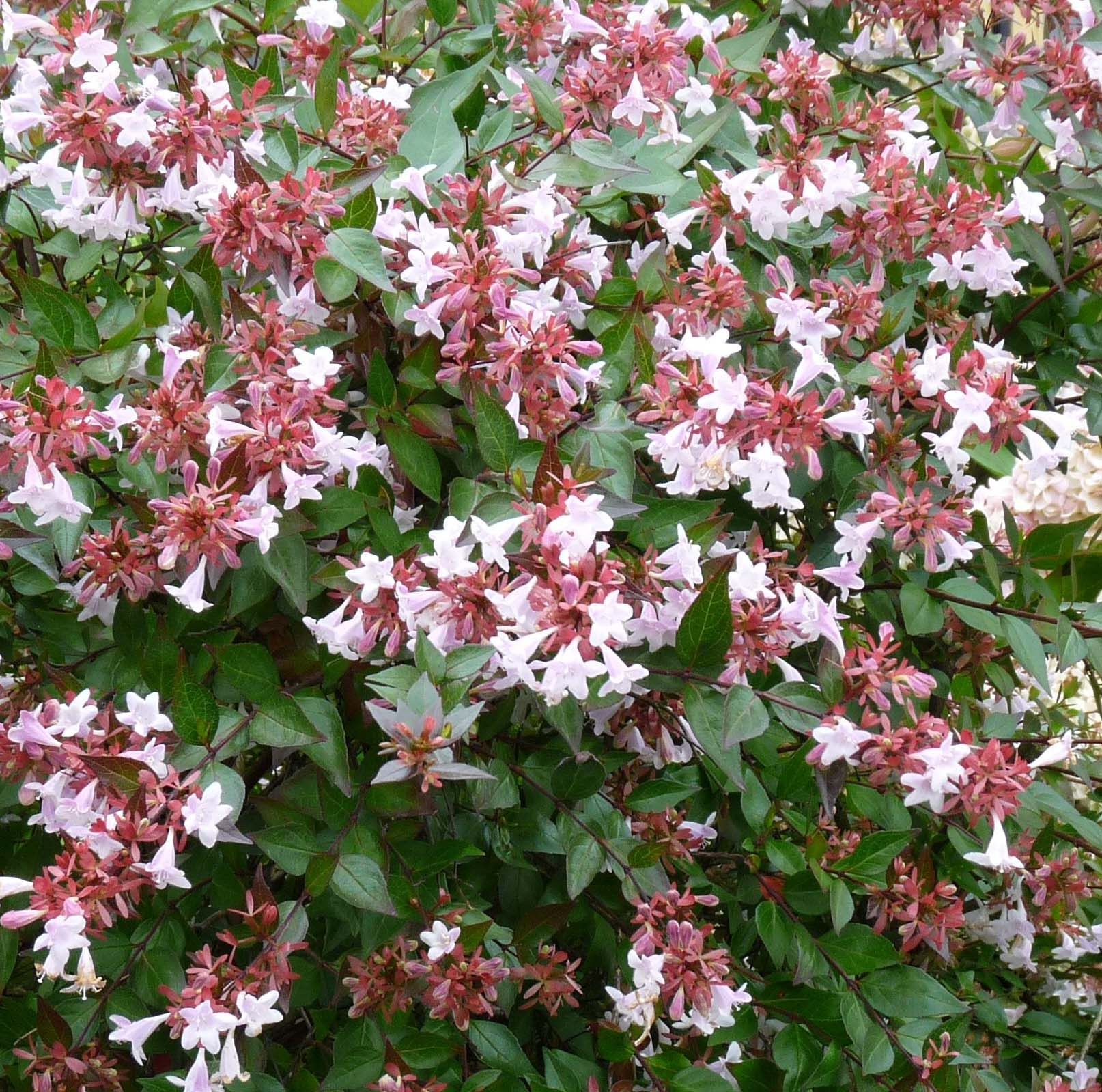 Glossy Abelia Abelia X Grandiflora Sherwood Canada