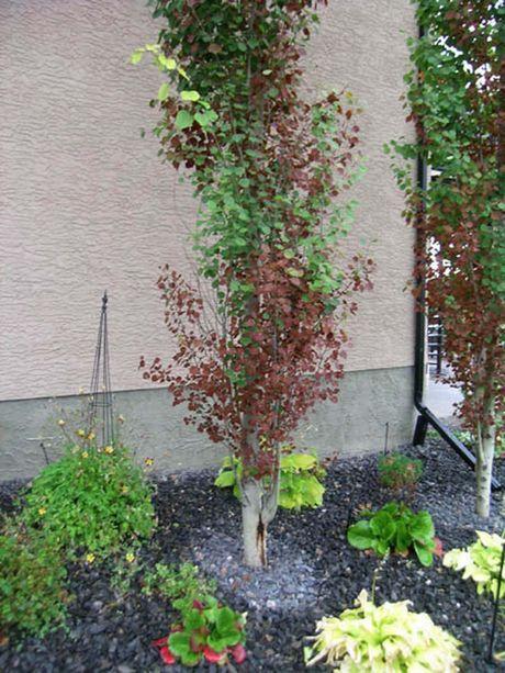 Bronze Leaf Disease On Swedish Columnar Aspens Aspen
