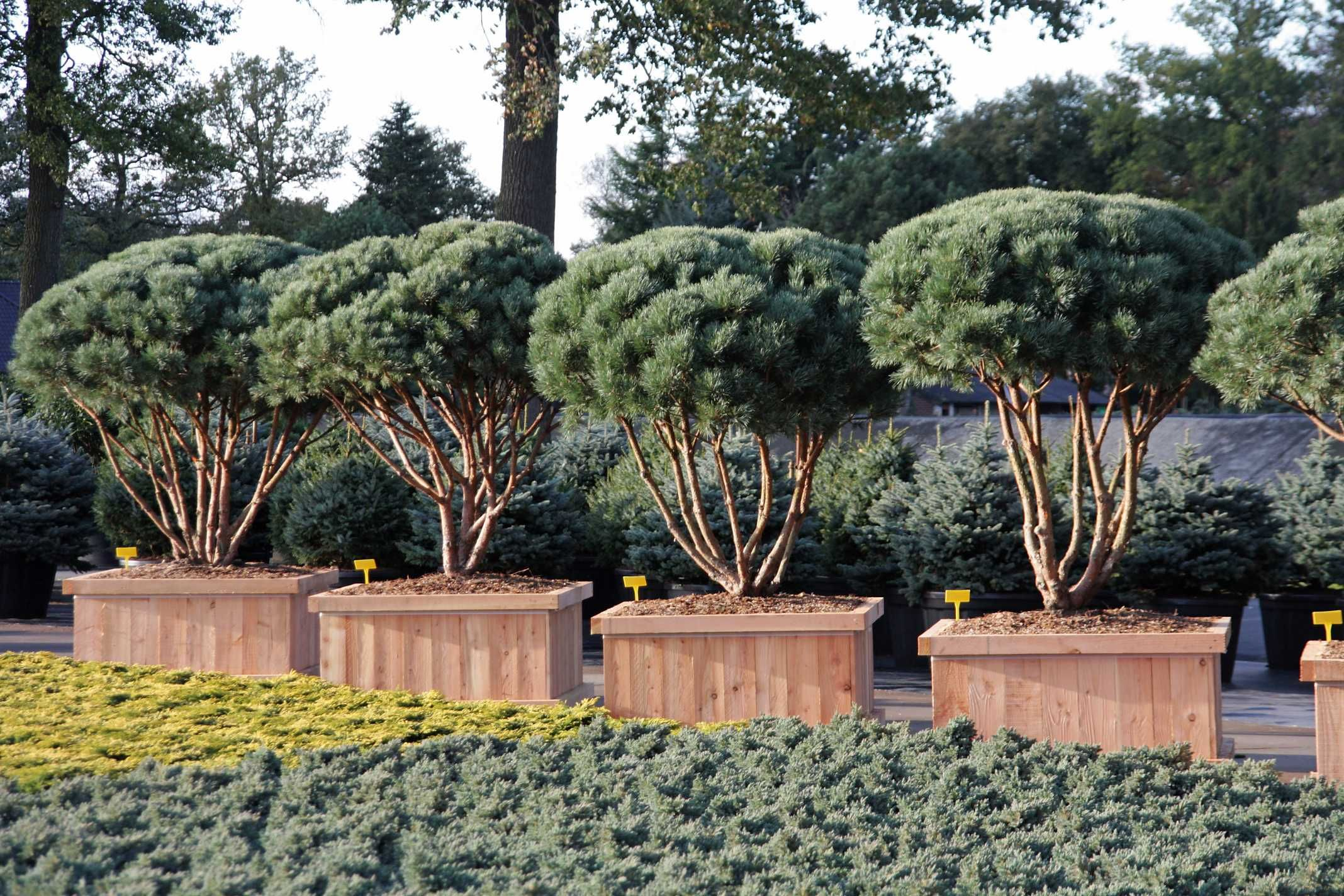 pinus sylvestris watereri gardenplants pinterest. Black Bedroom Furniture Sets. Home Design Ideas