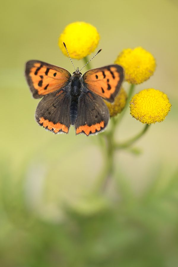 Kleiner Feuerfalter Schone Schmetterlinge Falter Und Kleine Tiere