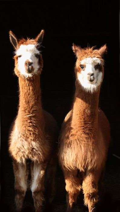 Un jeune couple de Lamas.