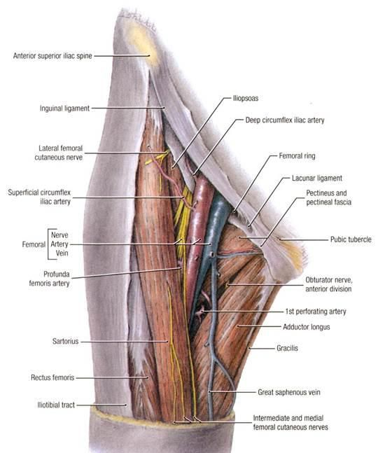 Pulse Is Palpable Just Inferior To Midpoint Of The Inguinal Ligament