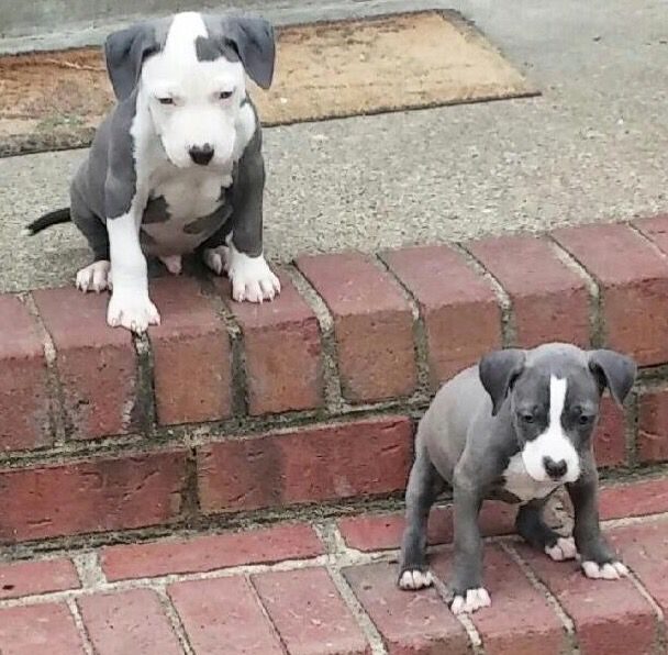 My Boo Bella And Her Brother Rico Purebreed Bluepit Pit Dog Pictures Of Pitbull Puppies Nanny Dog