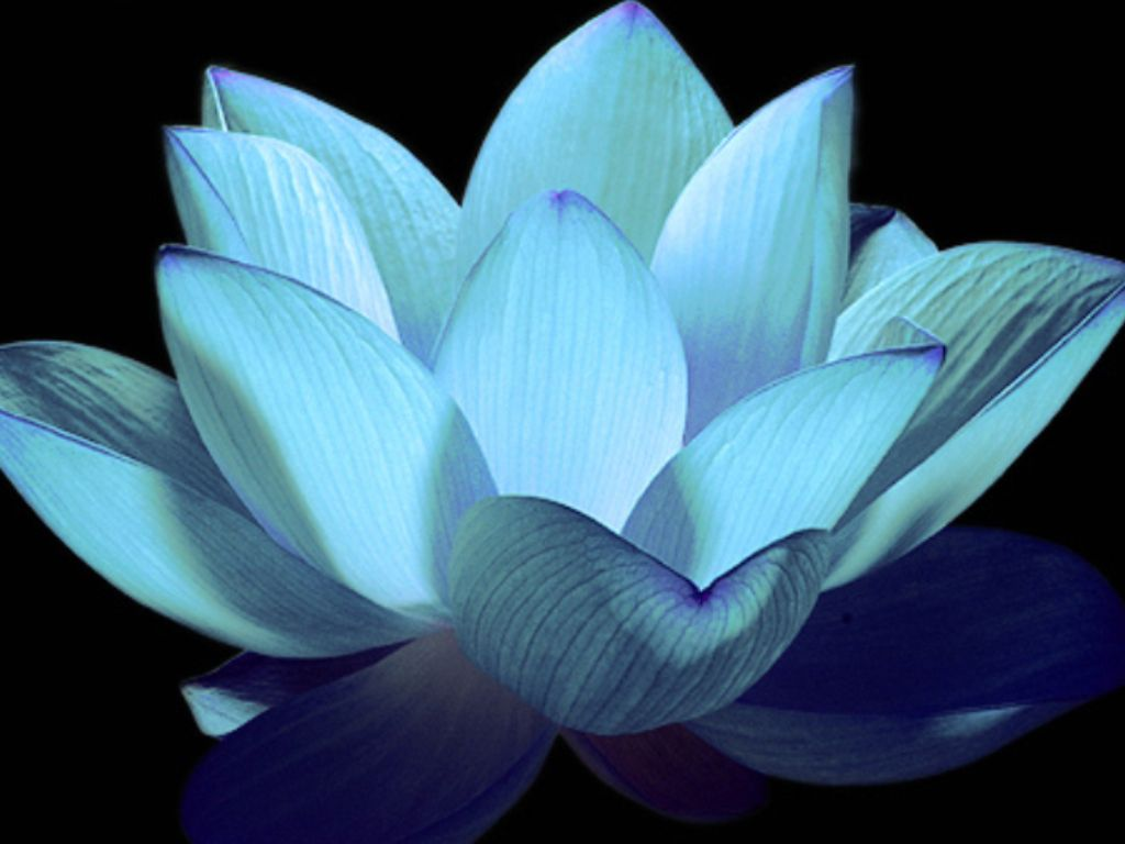 Pin by mij dela cruz on lotus pinterest lotus and flowers lotus izmirmasajfo Images