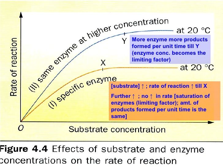 factors affecting the rate of enzyme activity essay Other factors affecting enzyme activity: substrate concentration as substrate concentration increases, the initial rate of reaction also increases as collisions between enzyme molecules and reactants become more frequent.