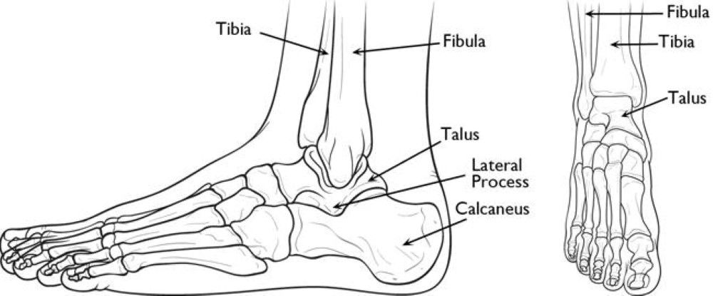 Normal Foot And Ankle Anatomy Healthy And Wise Pinterest Ankle