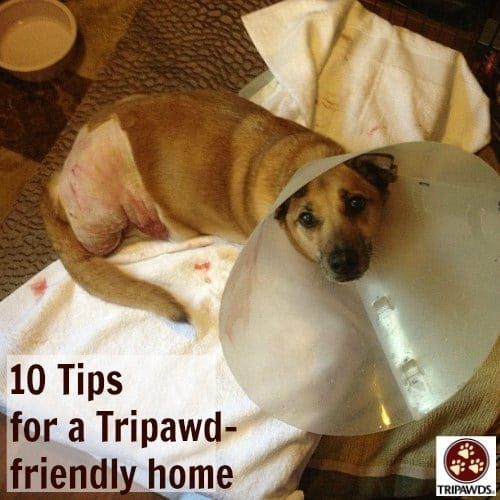 Ten Tips for a Tripawd Friendly Home Dog leg, 3 legged