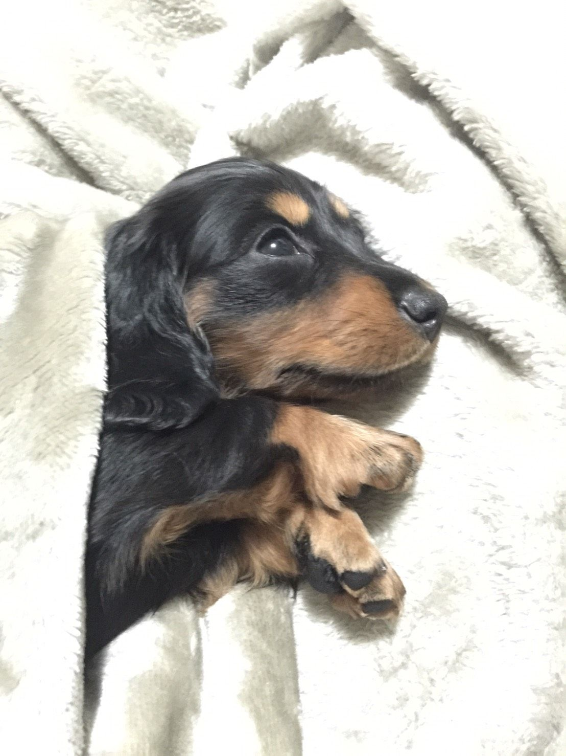 Maggie The Miniature Longhaired Dachshund 8 Weeks Old Animals