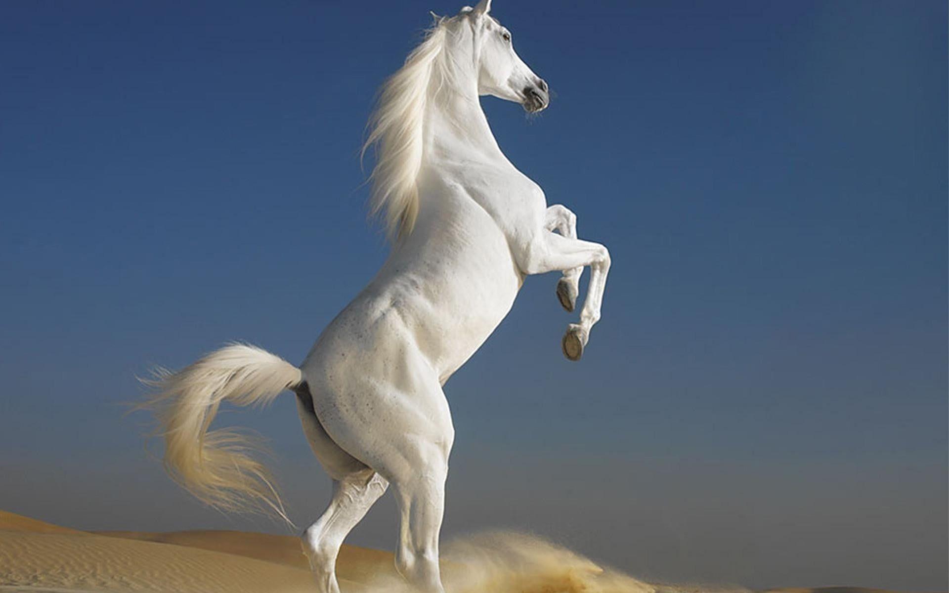 White Horse Horse White Desert Animals 1080p Wallpaper Hdwallpaper Desktop Horse Wallpaper Beautiful Horses Horse Background