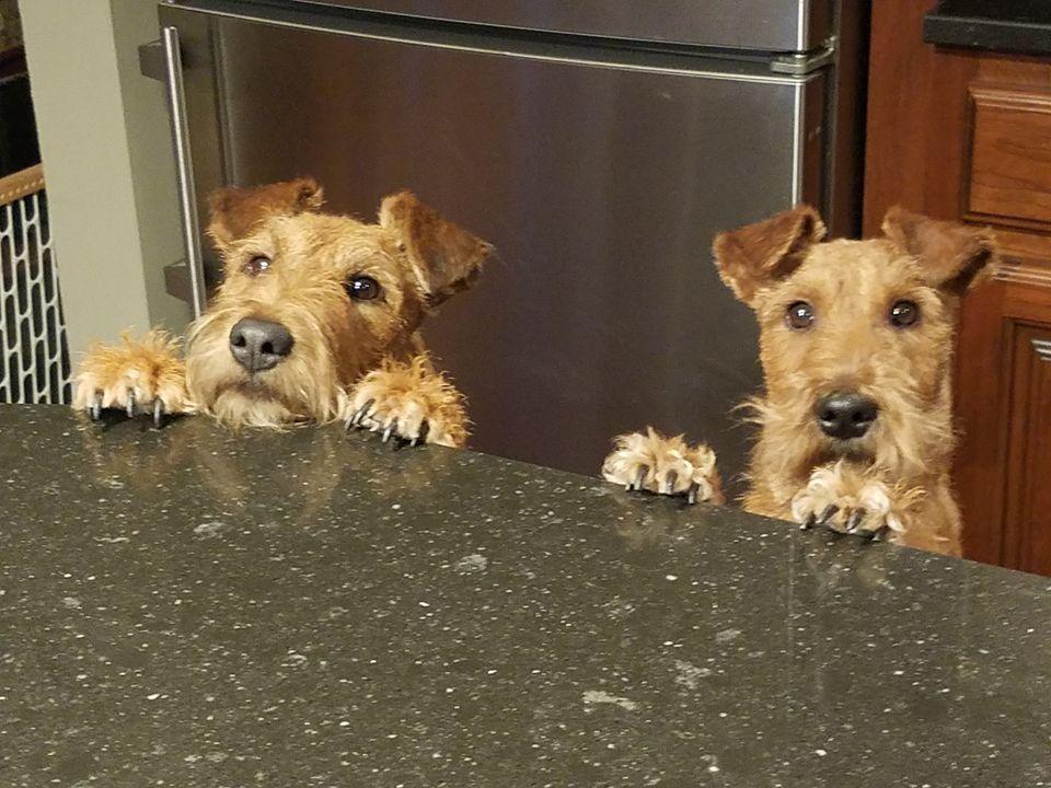 Pleeeeez Irish Terrier Puppies Irish Terrier Airedale Dogs