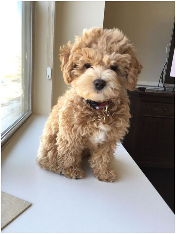 100+ Best Cockapoo Dog Names in 2020 (With images