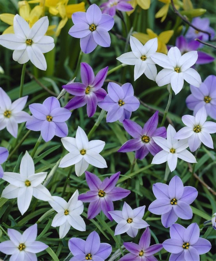 This Sweetly Scented Naturalizing Mixture Of Spring Star Flowers