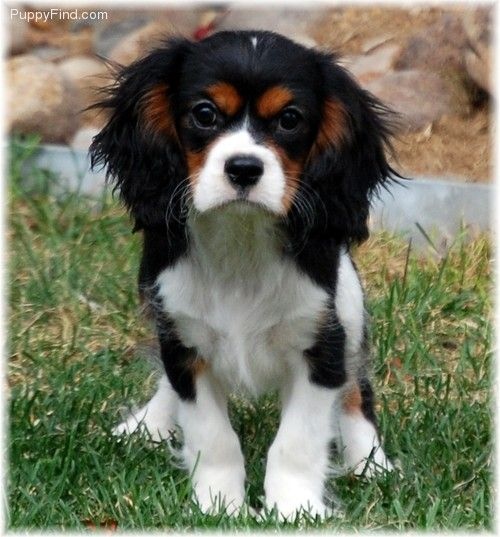 Cavalier King Charles Spaniel Pictures (i81gp67do7a)