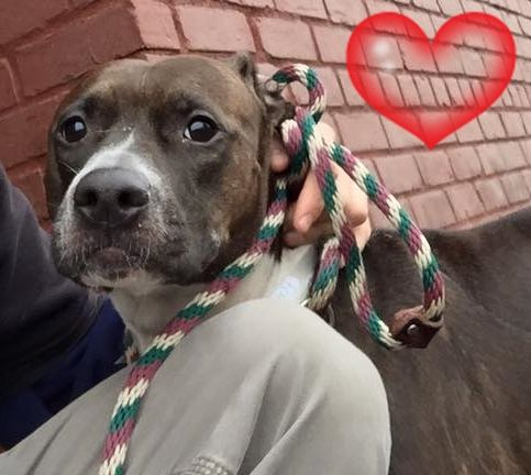 SAFE 2-10-2016 --- RETURN 01/22/16 PET CONFL --- SAFE 1-13-2016  --- SUPER URGENT Brooklyn Center APHRODITE aka LADY-BLUE – A0977577  ***RETURNED 01/09/16***  SPAYED FEMALE, BR BRINDLE / BL BRINDLE, PIT BULL MIX, 3 yrs OWNER SUR – ONHOLDHERE, HOLD FOR ID Reason NEW BABY Intake condition EXAM REQ Intake Date 01/09/2016 http://nycdogs.urgentpodr.org/aphrodite-aka-lady-blue-a0977577/