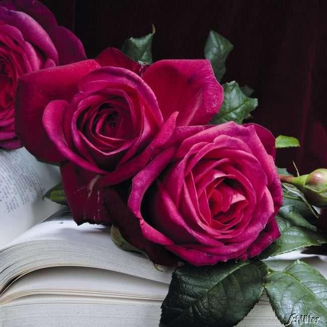 Rose \u0027Wolfgang von Goethe\u0027 Rosa \u0027JW von Goethe\u0027