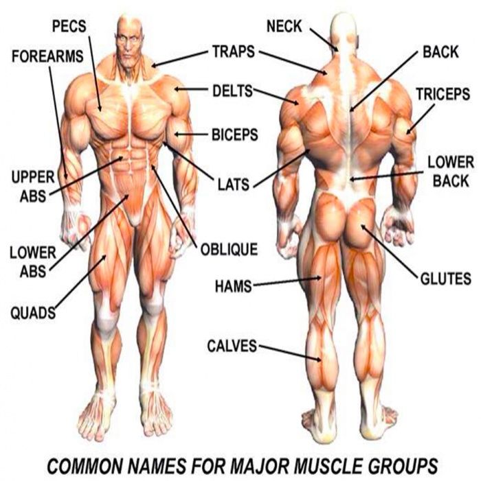 Major Muscle Group Names Healthy Fitness Tips Tricks Training