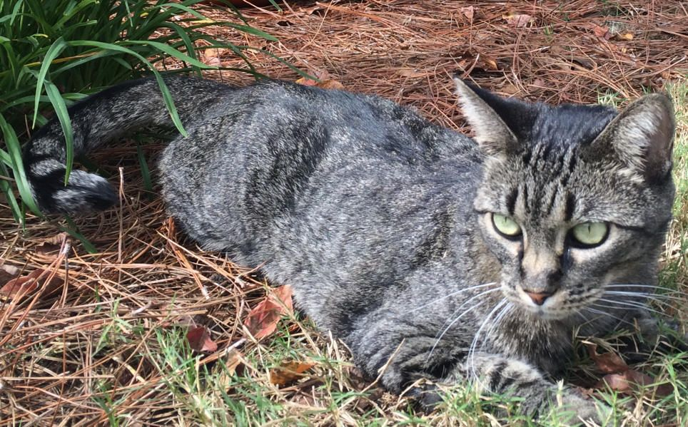 Lost Cat Tabby Mableton Ga United States 30126 Lost Cat Cats Losing A Pet