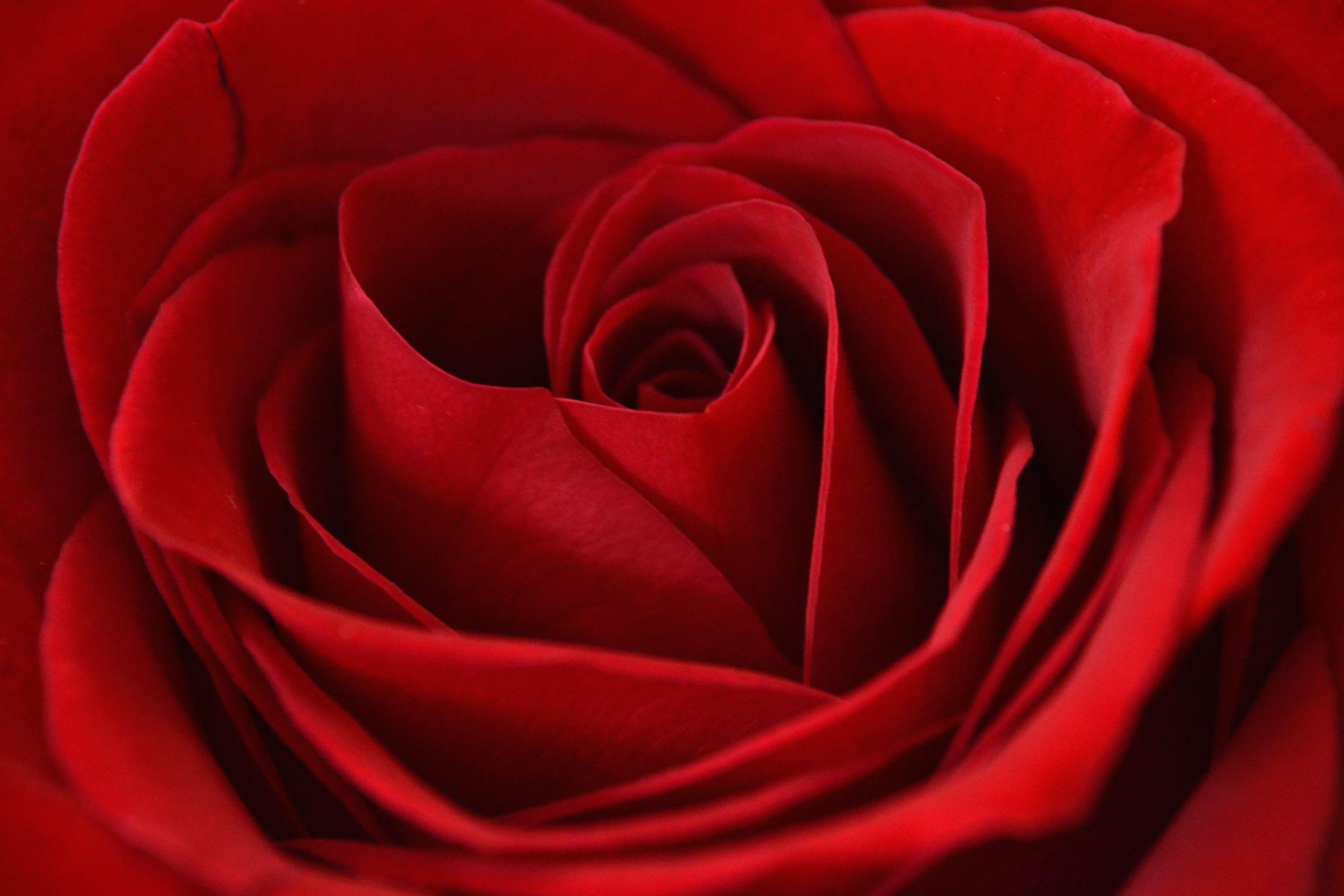 Rose. January 31, 2015.