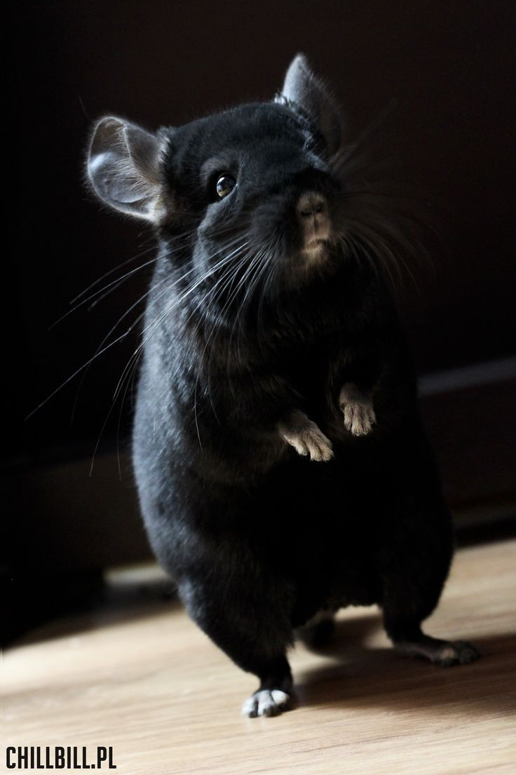Billy - chinchilla extra dark ebony! :)