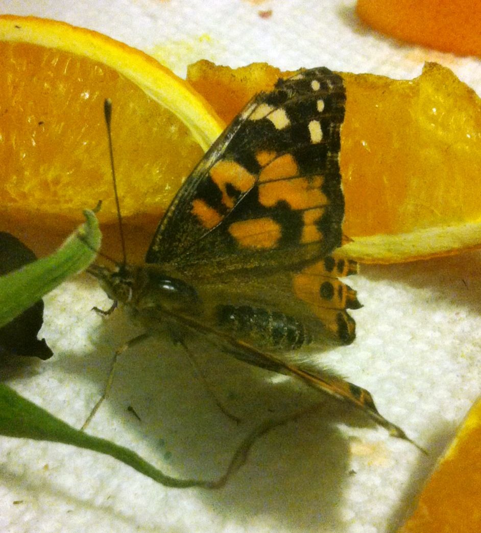 Insect Lore is the top provider of high quality live caterpillars, butterfly gardens, kits, live insects, insect habitats, toys and gifts for kids. Order live caterpillars and watch them transform into beautiful butterflies! Many great gift ideas for your favorite young scientist.
