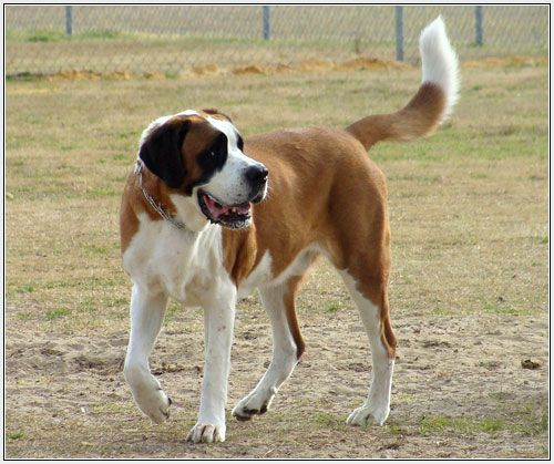 Lil Dog Whisperer From Hero To Beethoven The Saint Bernard St Bernard Dogs Saint Bernard Dogs
