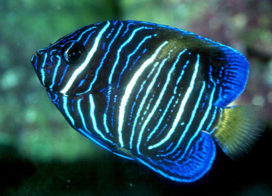 Arabian angelfish (Pomacanthus asfur), juvenile