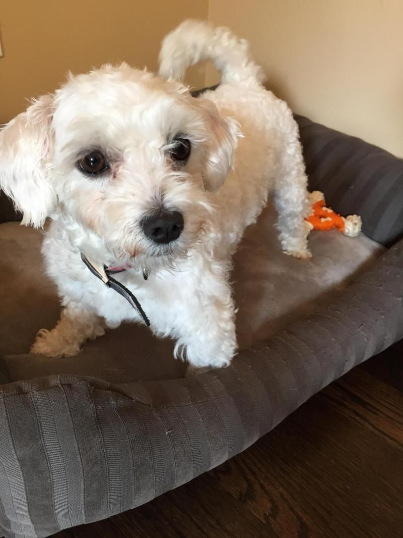 Adopt Marlin On Maltese Dogs Dogs Animal Rescue