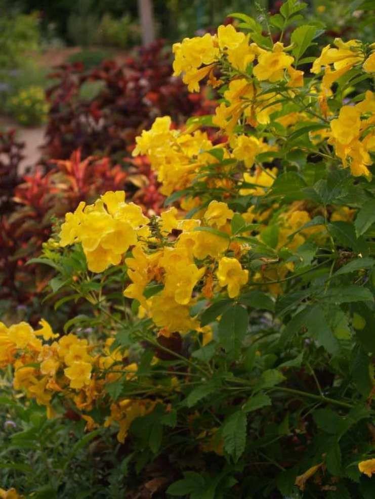 Lovely esperanza garden plants plants esperanza plant