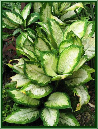 Dieffenbachia 39 exotica camilla 39 cordyline dracaena for Planta ornamental venenosa dieffenbachia
