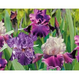 3 Pack Blue Shades Bearded Iris Lb21916 Zen Garden Flowers Iris