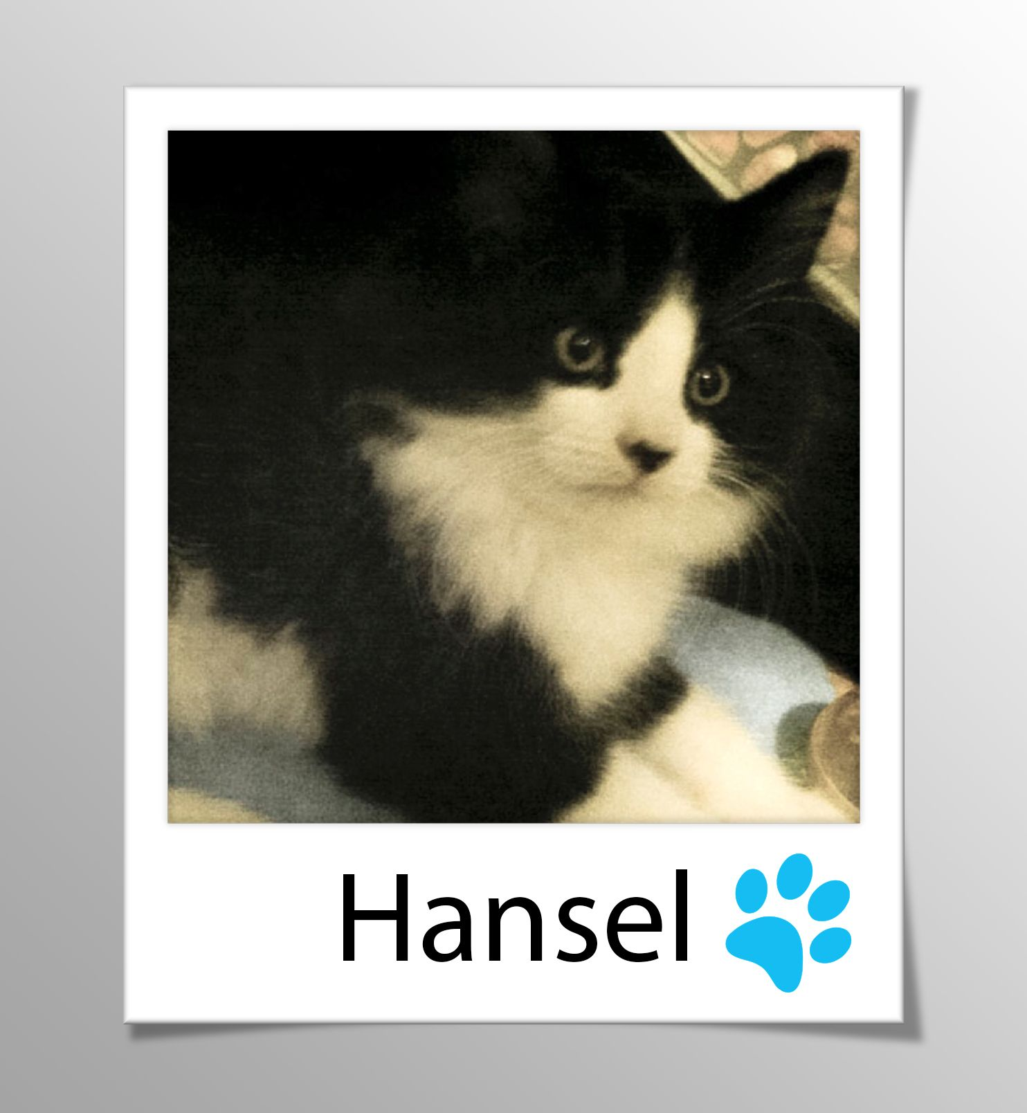 Available For Adoption Hansel Male Tux Kitten This Litter Of Five Bijou Gretel Hansel Joujou And Pritti Are V Adoption Day Losing A Pet Kitten Care