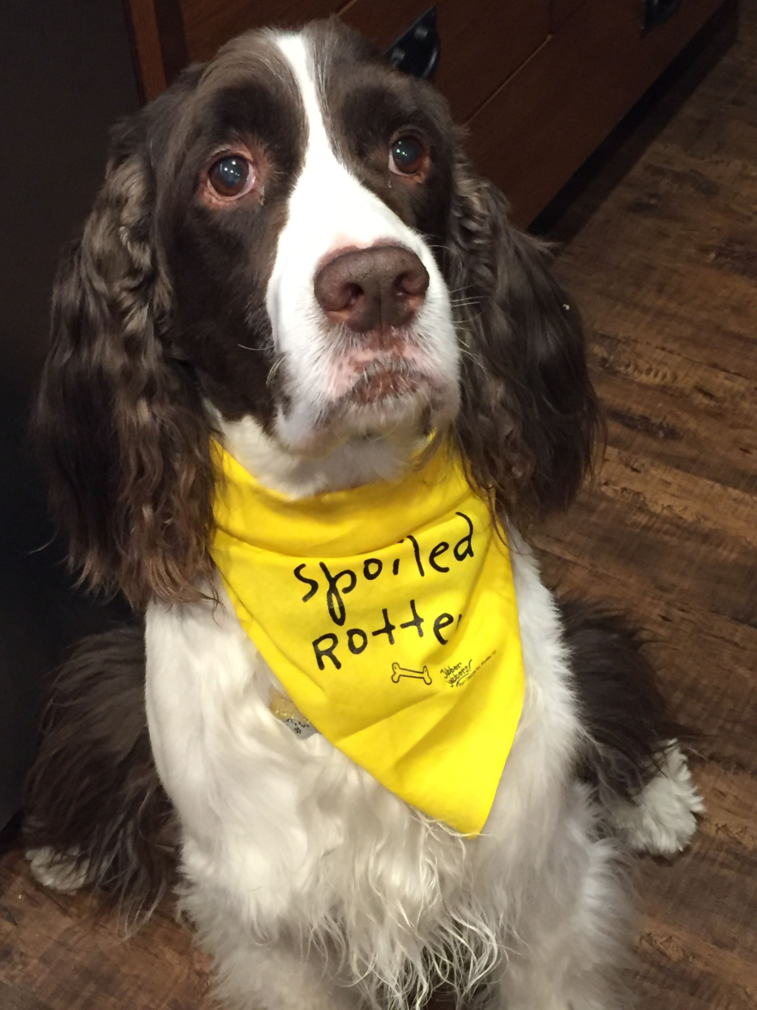English Springer Spaniel He S Not Spoiled He S Special