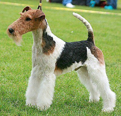 Fox Terrier, Wire - The Wirehaired Fox Terrier probably ...