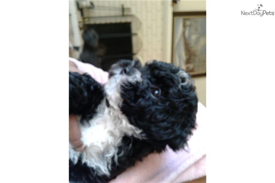 Poodle Miniature Puppy For Sale Near Sacramento California